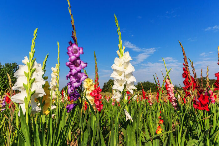 gladiolus flower meaning  flower meaning, Natural flower