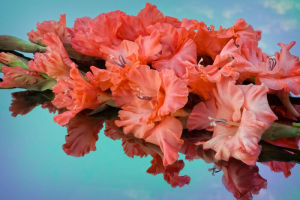 corrugated scarlet gladiolus reflected in the color mirror