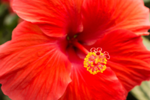 Hibiscus rosa sinensis close up of red flower head