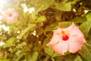 Beautiful vintage Hibiscus flower with morning light