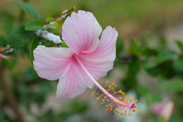 Hibiscus Flower Meaning - Flower Meaning