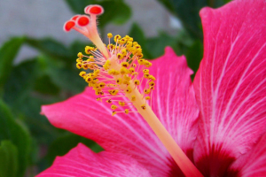 a macro photo of the stamen and carpel of a hibiscus plant