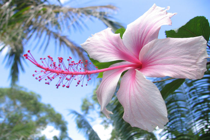 hibiscus flower meaning  flower meaning, Natural flower