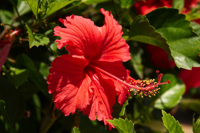 The hibiscus flower is traditionally worn by Hawaiian women.