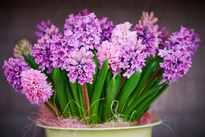 hyacinth flower meaning flower meaning