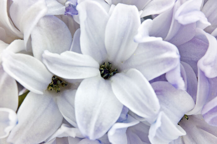 Hyacinth Flower Meaning - Flower Meaning