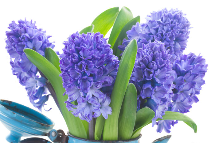 hyacinth flower meaning  flower meaning, Natural flower