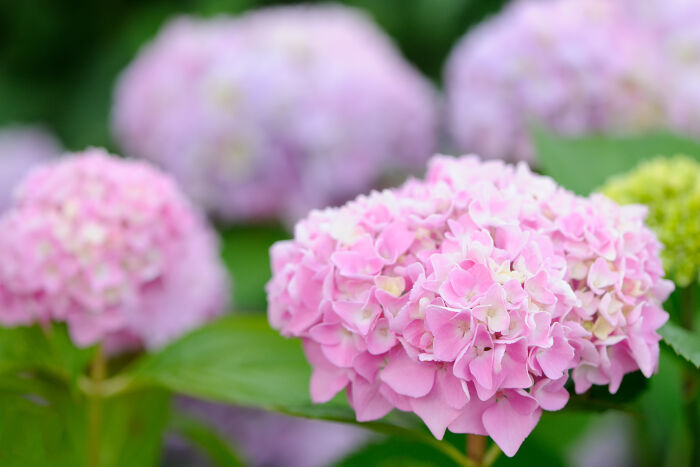 hydrangea flower meaning  flower meaning, Beautiful flower