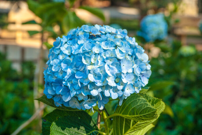 hydrangea flower meaning  flower meaning, Natural flower