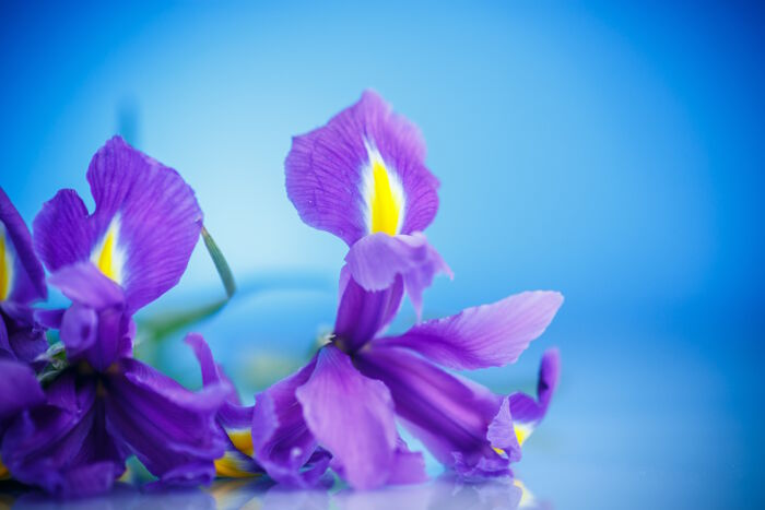 Iris Flower Meaning - Flower Meaning