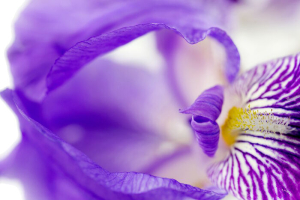 detail of purple iris flower close up