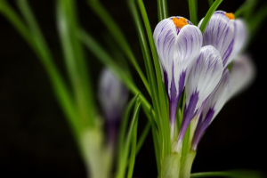 wallpaper macro of iris flower on black background with selective focus