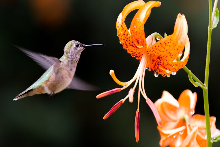 Hummingbird in flight near orange iris flower.
