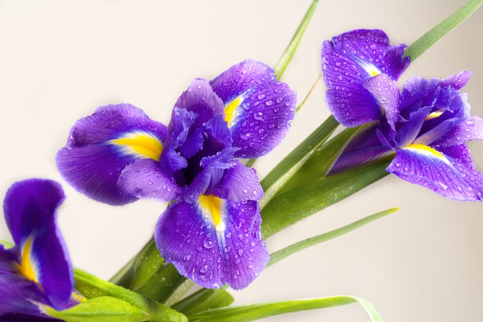 iris flower meaning  flower meaning, Beautiful flower