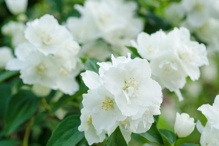 Jasmine Flower Meaning Flower Meaning