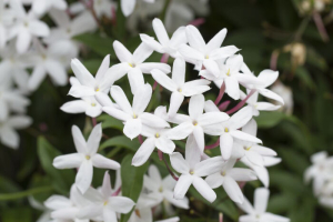 Lovely Star Jasmine flowers blooming in spring