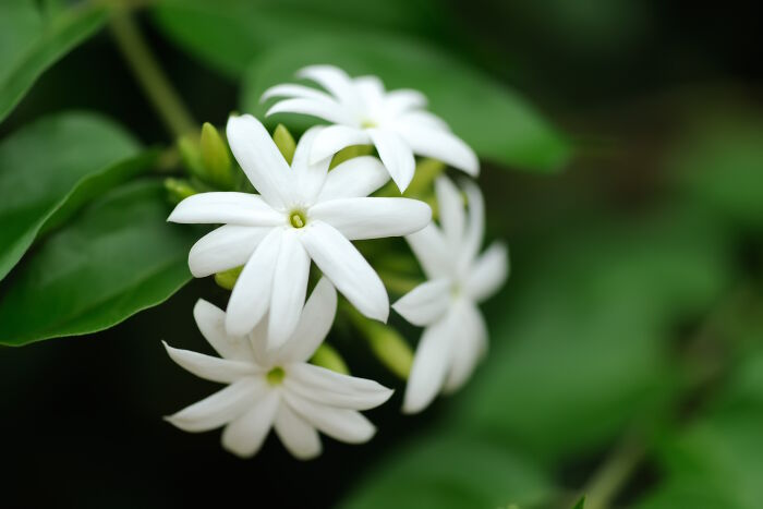jasmine flower meaning  flower meaning, Natural flower
