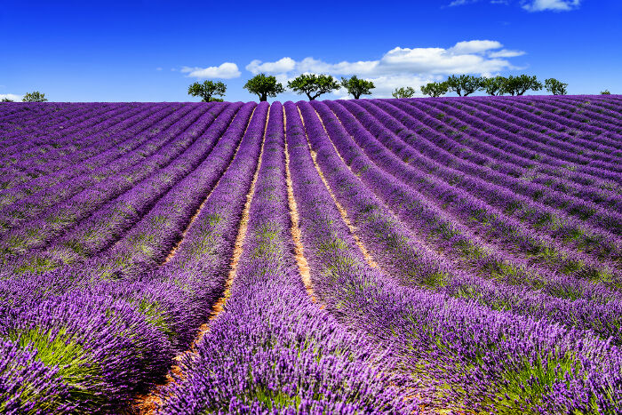 lavender flower meaning  flower meaning, Beautiful flower