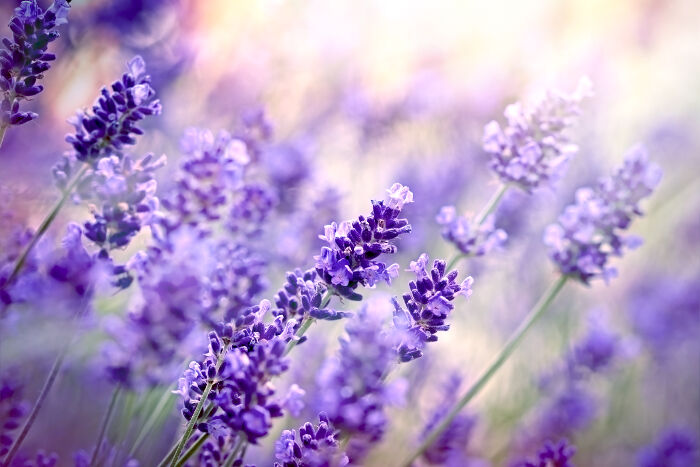 Lavender Flower Meaning - Flower Meaning