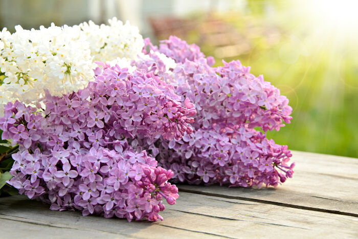 Lilac Flower Meaning Flower Meaning