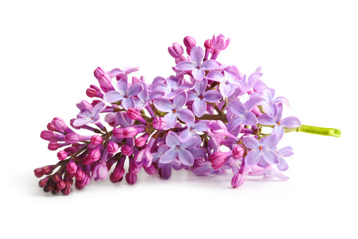 lilacs flowers  flower, Natural flower