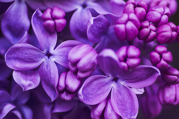 Lilac Flower Meaning - Flower Meaning
