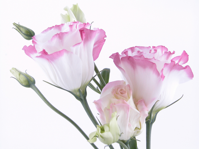 Lisianthus Flower Meaning - Flower Meaning