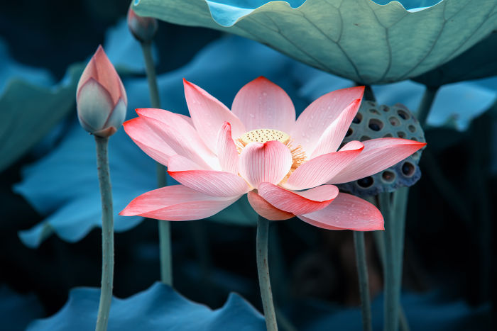 Lotus Flower Meaning Flower Meaning