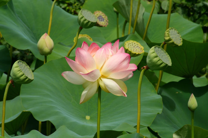 Lotus flower meaning flower meaning lotus flower mightylinksfo