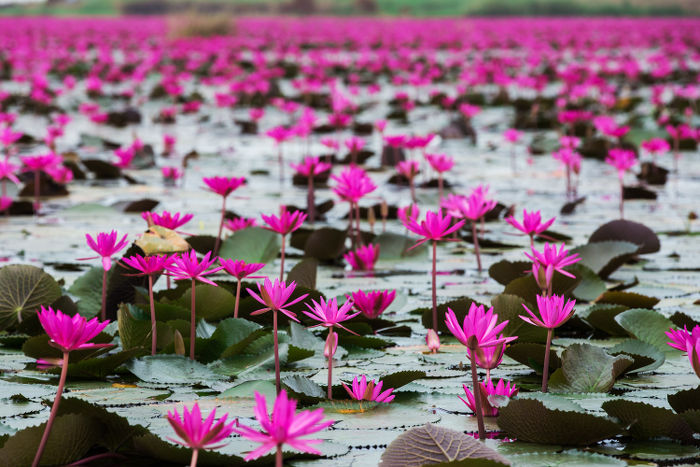 Lotus flower meaning flower meaning once you use this secret formula on someone they will feel a huge rush of positive emotions towards you try it before its too late follow this link mightylinksfo