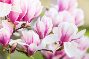 Close up beautiful of pink magnolia blossoms