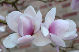 Nice couple of magnolia flowers in Seattle