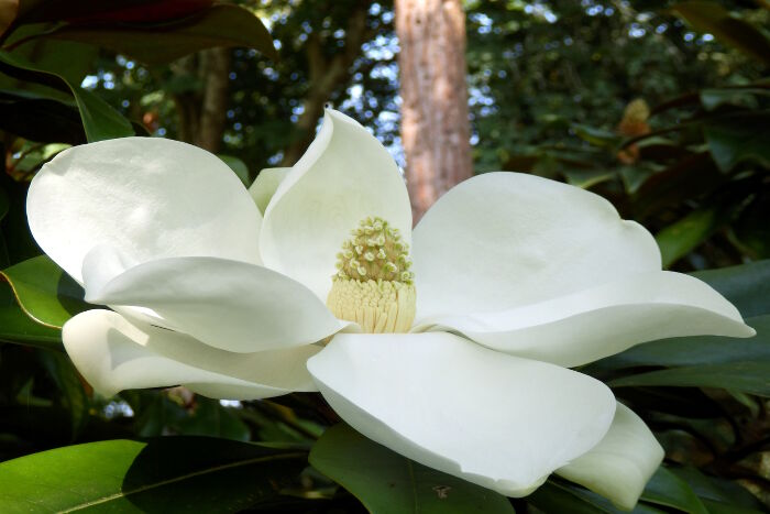 Magnolia Flower Meaning Flower Meaning