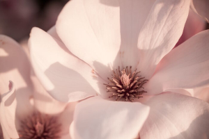 Beautiful magnolia flower blossom in evening sun