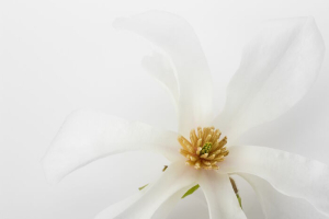 close up photo of nice magnolia flower.
