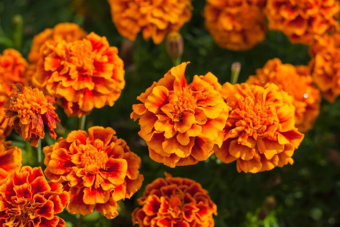 blooming marigolds, orangey-red to yellow