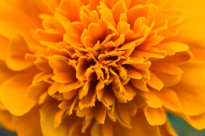 Marigold flower meaning flower meaning marigold flowers mightylinksfo Images