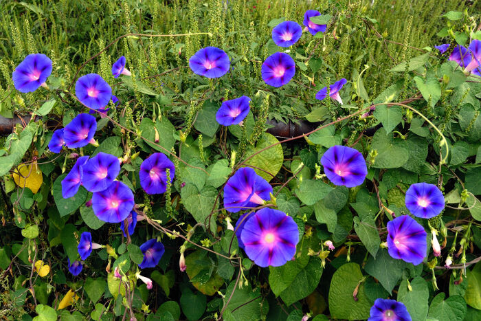 morning glory flower meaning  flower meaning, Natural flower