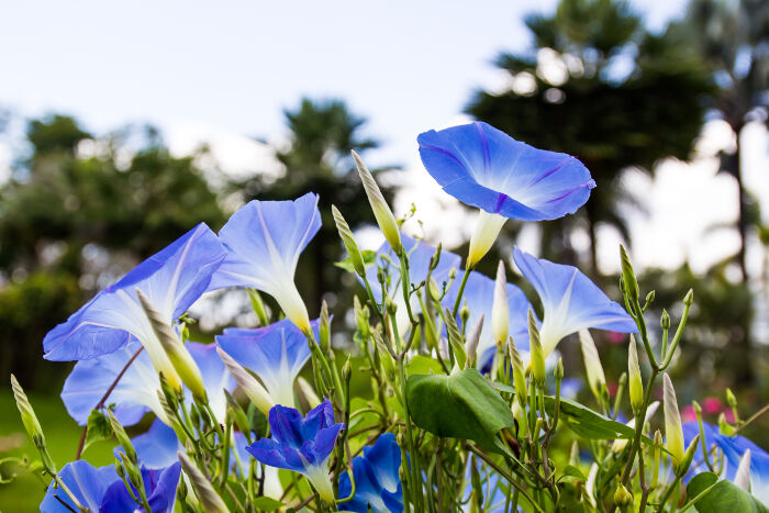 Morning Glory Flower Meaning Flower Meaning
