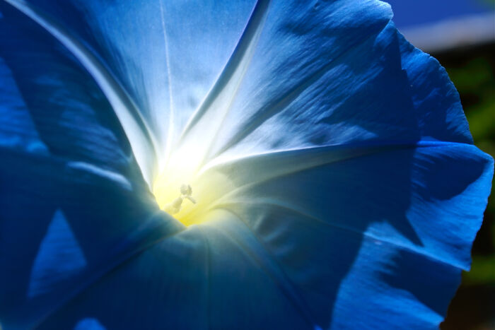 a macro of a blue morning glory in the sun