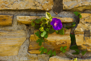 Old garden wall comprised of bricks stone and mortar with Morning Glory.