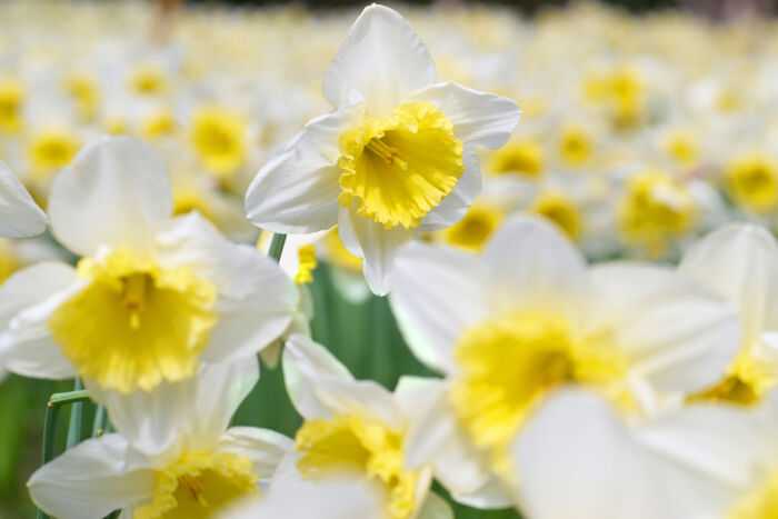 341b442e2 Narcissus Flower Meaning - Flower Meaning