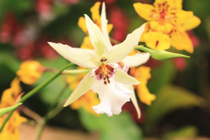 Orchid flowers,beautiful yellow orchid flowers blooming in the garden