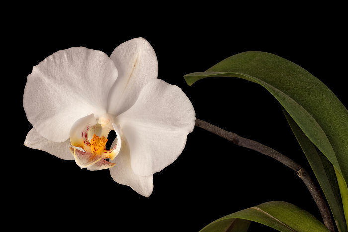 Orchid flower meaning flower meaning white orchid flower with stem and leaves isolated on black background mightylinksfo