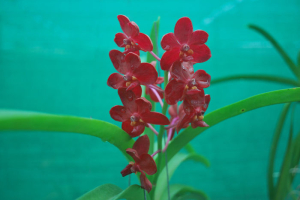 vanda orchid flower red colour klairvoyant orchids