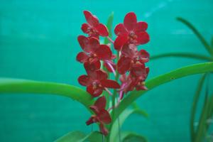 vanda orchid flower red colour klairvoyant orchids