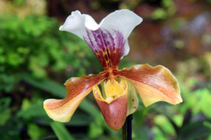 bright flower of orchid-predator, orchid that feeds on insects
