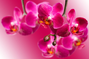 Dark purple orchids on blurred gradient background