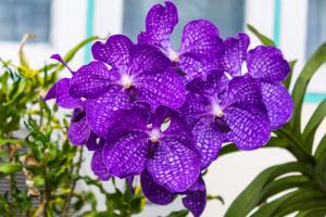 Vanda Orchid Flower , Queen Of Orchids