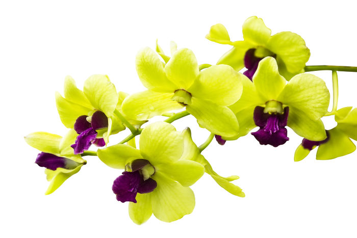 Bright Green orchid isolated on white background